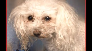 Maltese Poodle Mix 8 Year Old Male | A Day In The Shelter