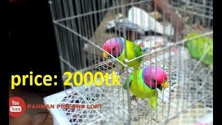 Plum Headed Parrot | Talking Parrot | Talking Parakeet | Tamed Parrot  in mirpur 1 bird market