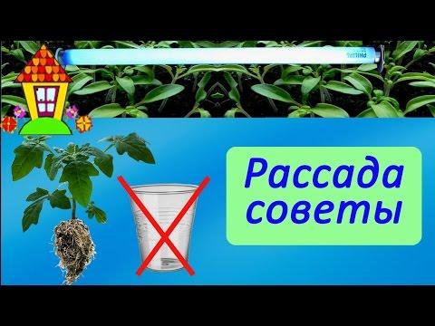 семена помидор на рассаду