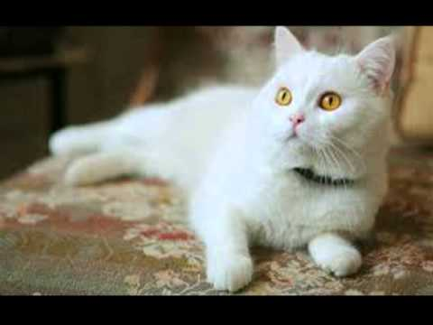 Top 10 most beautiful white cats