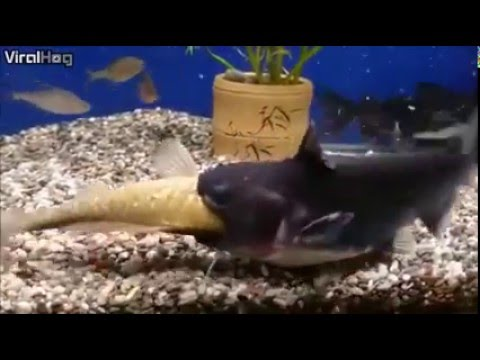 Catfish eats another fishes and doubles in size youtube for Fish that eat other fish