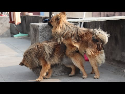 22nd day of first heat cycle | Pomeranian vlog | Pomeranian video | 9 months old toy pomeranian
