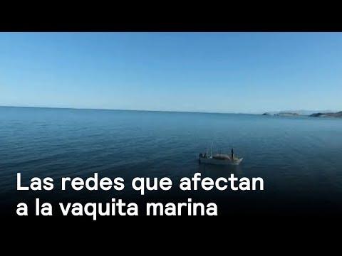 Las otras redes que tienen atrapada a la vaquita marina - Despierta con Loret