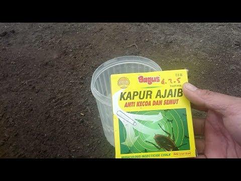 Cara Mengatasi Semut Di Pohon Buah Menggunakan Kapur Bagus