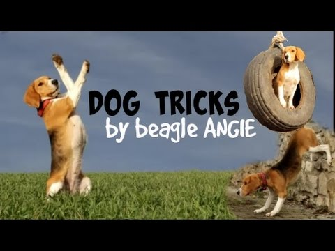 Dog tricks by beagle Angie! ♡ | 5 years