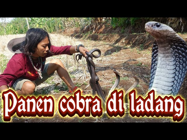 PANEN ULAR COBRA#part1