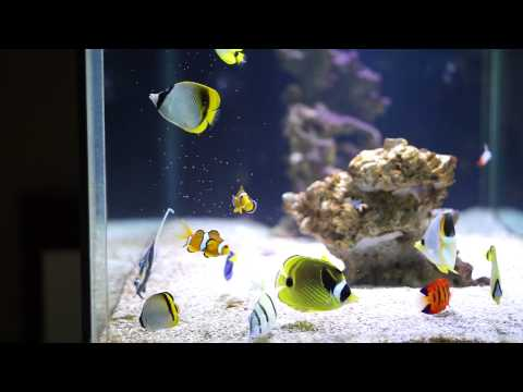 Butterflyfish Feeding