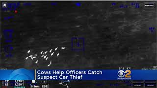 Cows Help Police Catch A Suspected Car Thief LoL 🤣