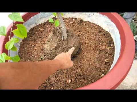 cách trồng hoa giấy cách trộn phân và cách lên chậu để cây phát triển tốt