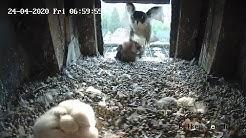 Wanderfalken Fütterung - Eichelhäher wird an Jungvögel verfüttert