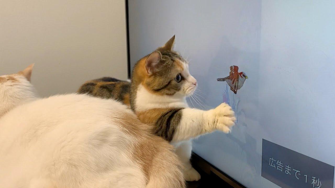 猫用動画を見せたら暴走して猫パンチをくり出す猫!【短足ミヌエット】