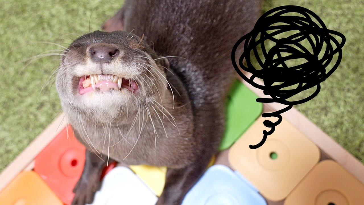 Cute otters playing puzzle Bingo&Belle