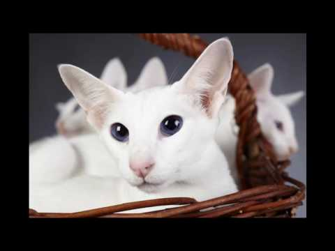 Colorpoint Shorthair Cat and Kittens | History of This Charming Breed