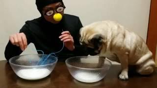 パグ犬ムゥが,全身黒タイツ変なおじさんマンと,牛乳早飲み対決をします...