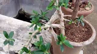 how to select   bonsai plant from nursery plant in hindi/urdu in india कैसकेड बोन्साई