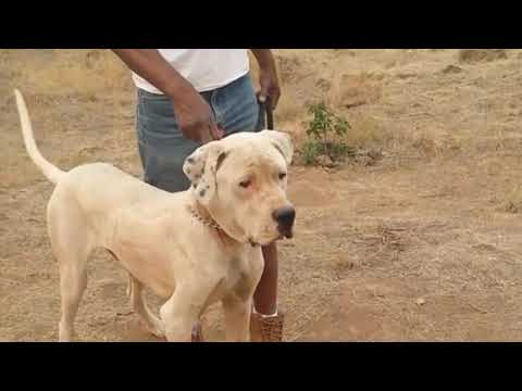 Top Indian Dog Breeds You Never Knew About