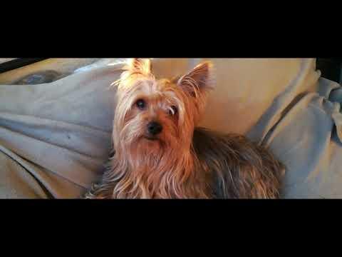 Nico - un día de un Silky terrier Australiano