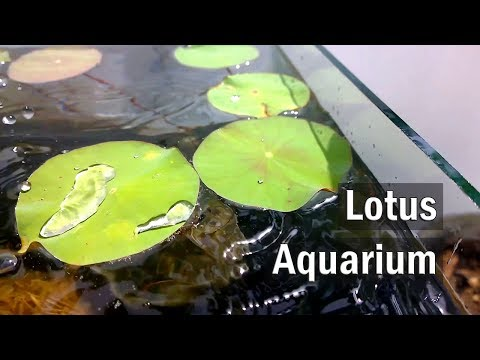 Making a Lotus Aquarium Set Up – DIY
