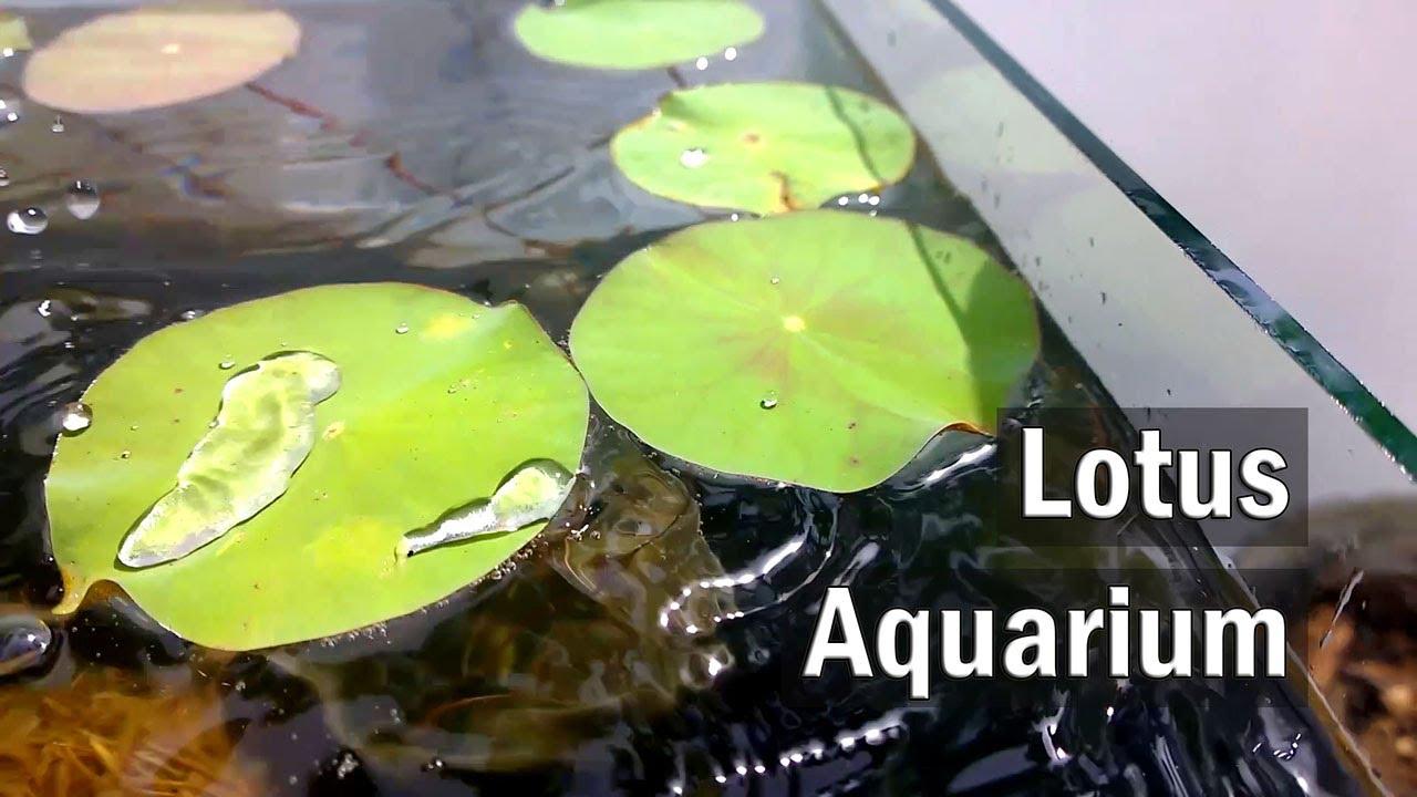 Making A Lotus Aquarium Set Up Diy Youtube