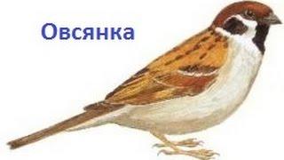 Пение птиц - Овсянка