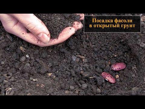 Посадка фасоли в открытый грунт семенами