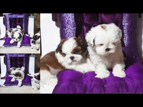 Shih Tzu Puppies  Bangalore # 9916672339 Buy After 45 Days Only .