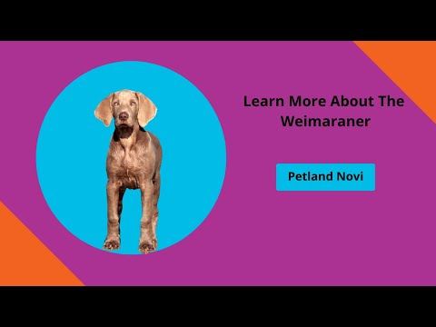 Learn Weimaraner Fun Facts
