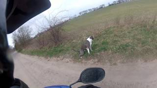 Dog Runs Next To Scooter Pit Bull Workout Gopro Hd Hero 2 Blueline Staffordshire Terrier