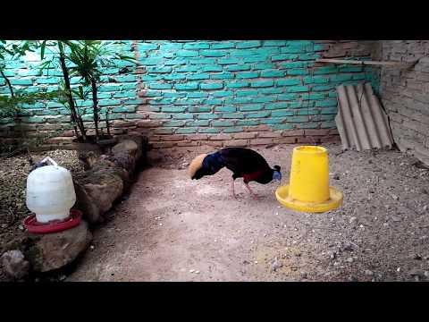 Ayam hutan asli kalimantan sempidan biru