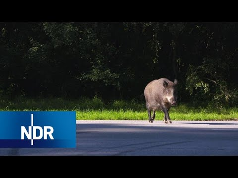 Wildschweine: Die cleveren Wildschweine von Usedom | DIE REPORTAGE | NDR