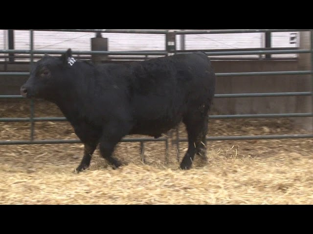 Schiefelbein Angus Farms Lot 292