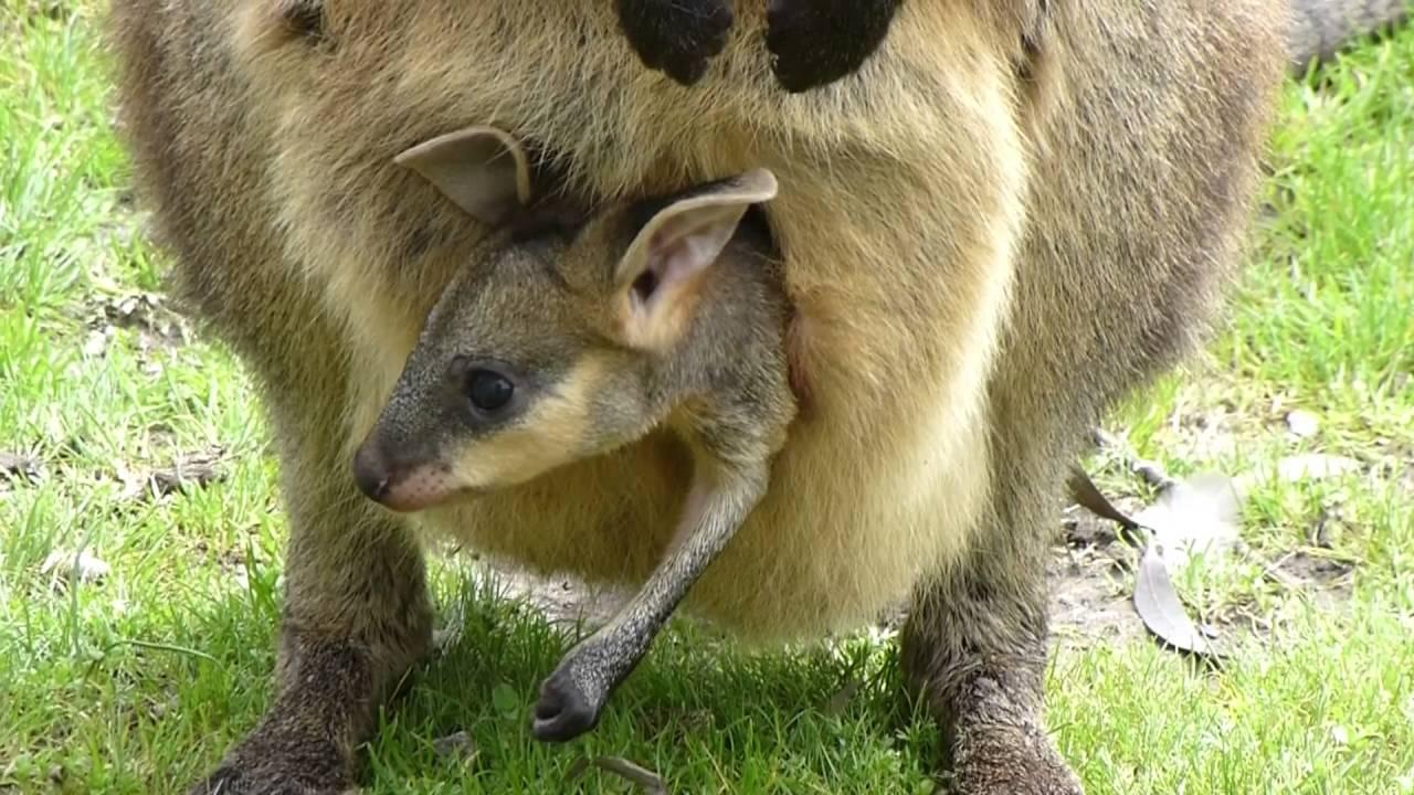 baby kangaroo in pouch youtube