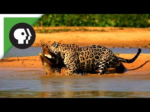 Jaguar Attacks Caiman Crocodile