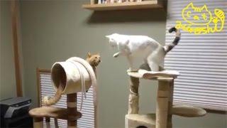 妹タマがキャットタワーで遊んでるところに、ひろしが緊急参戦! 妹タマ...