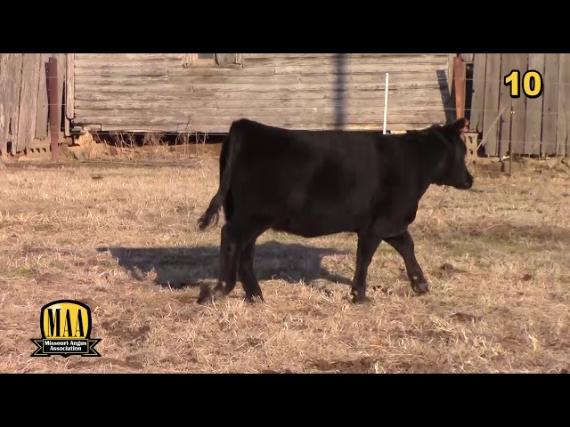 Missouri Angus Futurity Lot 10