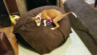 Kenobi the Ibizan Hound puppy gets a new bed