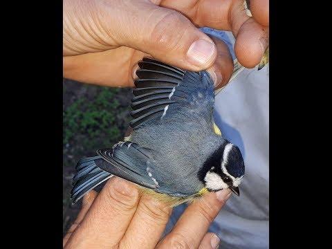 Reportaje de TVM sobre el anillamiento realizado por Guelaya, Rhodopechys y SEO/BirdLife