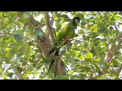 Nanday parakeet Conure or Black-hooded parakeet chattering & chewing stems