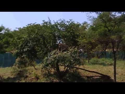 SASAN GIR || DEVALIYA SAFARI PARK || GIR INTERPRISE ZONE || LION || LEOPARD