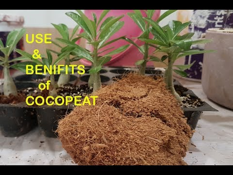 benifits of cocopeat & repot ROSE plant using cocopeat// with ENGLISH SUBTITLES
