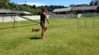 Pepper Cairn Terrier Agility Passion Course Round One Novice Standard