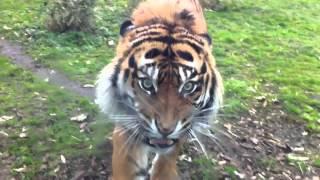 Nerwowy tygrys w zoo