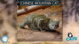 Chinese mountain cat  EVERYTHING CATS
