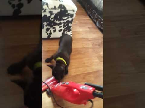French bulldog puppy loves to vacuum.