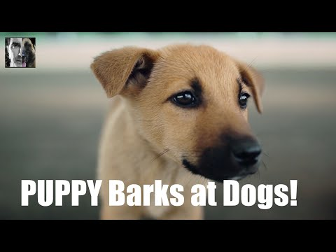 My Puppy Barks at Dogs - Dog Training Video - ask me