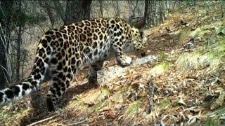 В Уссурийском округе обитают самые редкие хищники планеты