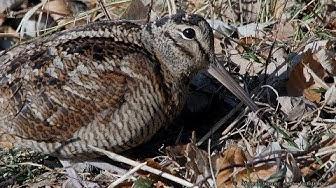 Im Revier der Waldschnepfe – Woodcock territory (Scolopax rusticola)