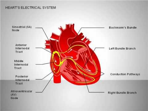 Free Heart's Electrical System For PowerPoint YouTube