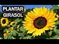 Plantar girasoles