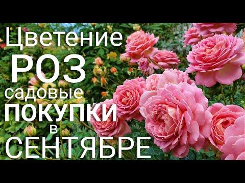 Цветение роз. ЛУЧШИЕ СОРТА. Наш цветущий сад в сентябре. Покупка новых растений. ВЛОГ.